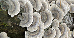 Application: Metabolization & degradationkinetics of the urban-use pesticide fipronil by white-rot fungus Trametes versicolor